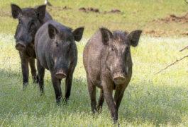 Wildschweinrotte von Zug überfahren